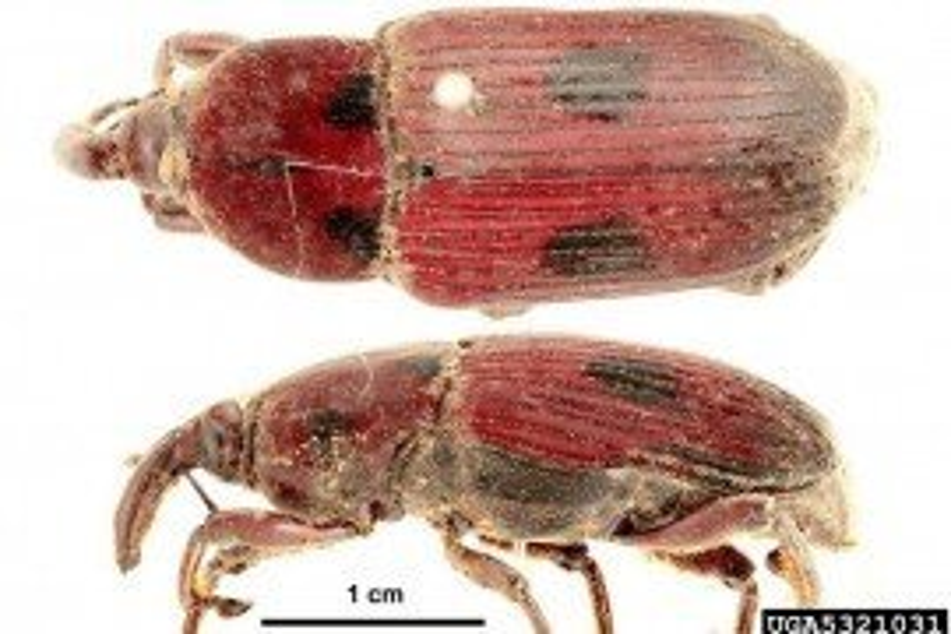 Weevil (Iphthimorhinus australasiae)