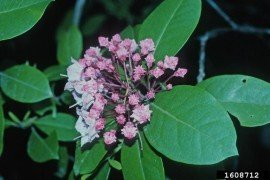 Mountain laurel (Kalmia latifolia) Linnaeus