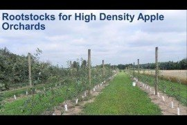 Apple Rootstocks for High Density Orchards