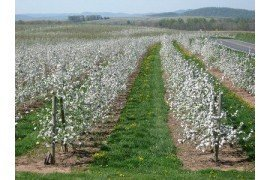Apple Crop Load Management - Alternate Bearing