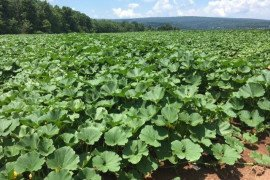 Models for the Future: Winter Squash Production Budget