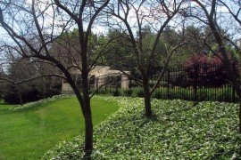 Crabapples with vole damage. Note the English ivy being used as a ground cover. Photo: Tim Abbey, Penn State