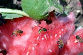 Waste watermelon on the edge of picnic grounds serves as a sugar buffet for honeybees and yellow jackets. Photo: T. Butzler, Penn State