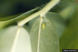 Figure 1. Potato leafhopper adult and nymph. Photo Credit: Dr. Art Hower, Penn State University.