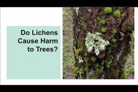 Do Lichens Cause Harm to Trees?