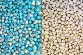 Treated (left) and non-treated (right) soybean seeds. Photo credit: Paul Esker & Alyssa Collins, Penn State.