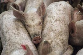 Manure Additive Shows Swine Odor Reduction