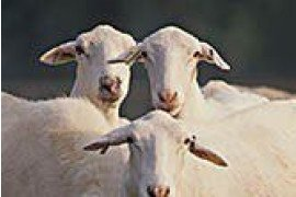 St. Croix sheep have shown resistance to parasites and tolerance to hot weather. Photo by ARS.