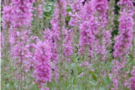 Purple Loosestrife in Pennsylvania