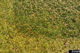 Common duckweed (Lemna minor)