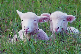 Optimal nutrition promotes lamb survival and can help lead to optimal performance and profitability.