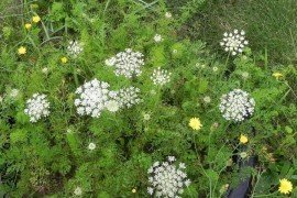 Wild Carrot, Queen Anne's Lace, Bird's Nest, Bishop's Lace