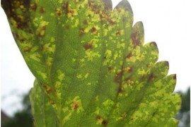 Angular leaf spot close up. (Photo by K. Demchak)
