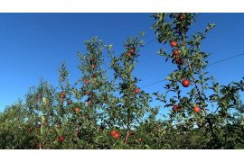 Orchard Production Systems - Transition to Higher Tree Densities