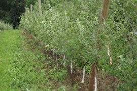 Orchard Weed Control - Part of an IPM Plan