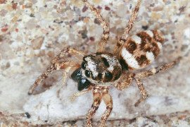 Salticus scenicus female. Photo by Steven Jacobs, Penn State Extension
