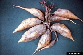 Scurf on sweet potato. Photo by Charles Averre, NC State University through Bugwood.org.