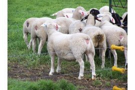 Evaluating body condition is an important evaluation tool for sheep producers.