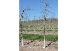 Trees trained to a tall spindle system are commonly grown on M.9 rootstock, although new rootstocks are on the horizon.