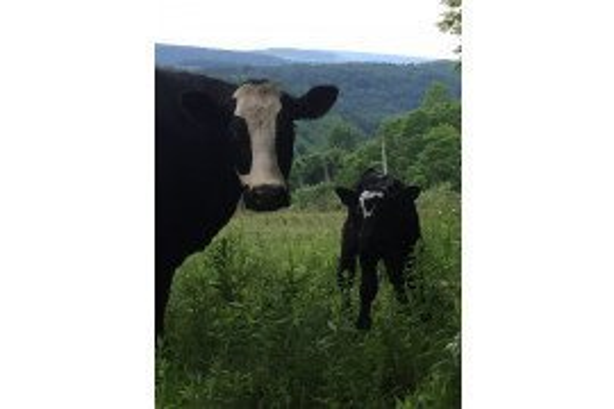 Black Baldy and calf
