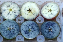 Stage of maturity can be assessed by performing the starch-iodine test to document starch disappearance. Applying an iodine solution to the cut surface of fruit stains the starch a blue black.