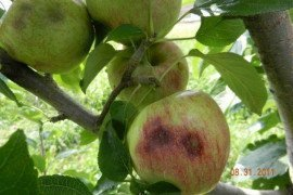 "Late season feeding usually causes depressions on the fruit surface and the appearance of necrotic tissue (corking) just below the fruit surface. Late season feeding injury is often confused with ""cork spot,"" which is caused by calcium deficiency."