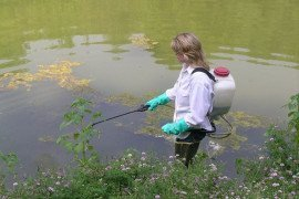 An aquatic herbicide being applied with a backpack sprayer.