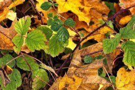Virus Diseases of Brambles in Home Fruit Plantings
