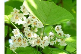 Catalpa Diseases