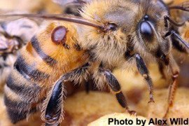 Varroa mite parasitizing bee. Thought to be one of the major factors contributing to hive losses. Photo Alex Wild.