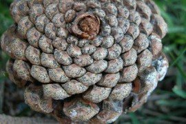 Fruiting bodies on cone scales