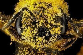 Small Striped Bee (Halictus). Photo USGS Bee Inventory.