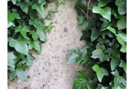 English Ivy (Hedera) Diseases