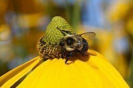 Pollinator Health and Pesticides