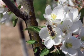 Apples require Cross Pollination to produce a crop, but there are many other fruit and nut varieties that are self-fruitful. Photo: D. Biddinger.