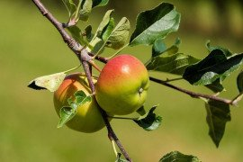 Home Orchards: Table 4.7. Pesticide Recommendations for Apples