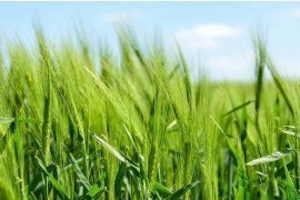 Effects of Biosolids on Soil and Crop Quality