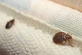 Bed Bugs are Making a Comeback