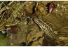 Pickerel Frog. Illustration by John Sidlinger