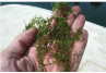 Elodea (Common Waterweed)