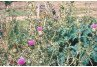 Bull Thistle Identification and Management