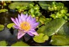 Mid-Atlantic Pocket Guide to Water Garden Species