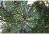 White flecks on Scotch pine needles (signs of a pine needle scale infestation). Courtesy of Cathy Thomas, PDA
