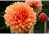 The Dirt on Dahlias