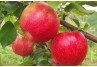 Apple PGRs - Prevention of Preharvest Drop in Apple Orchards