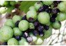 Black Rot on Grapes in Home Gardens