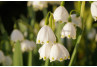 Lily Of The Valley (Convallaria) Diseases