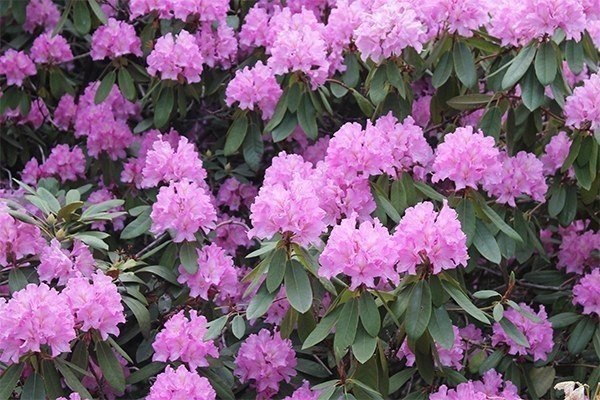Evergreen Shrubs and Trees for Pennsylvania