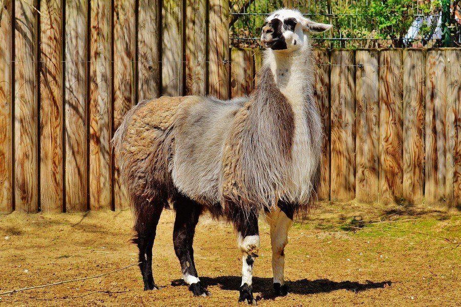 Body Condition Scoring of Llamas and Alpacas