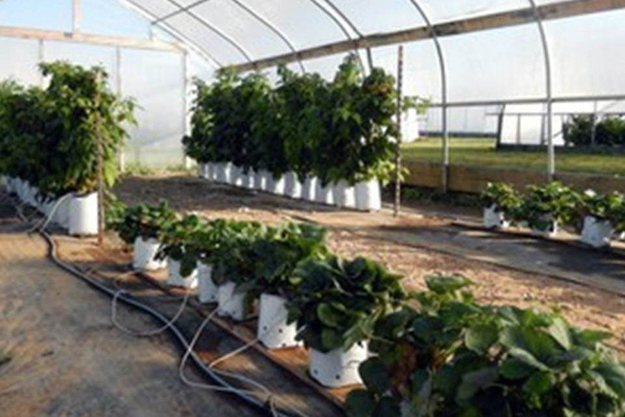 Alternative Cropping Systems for High Tunnels